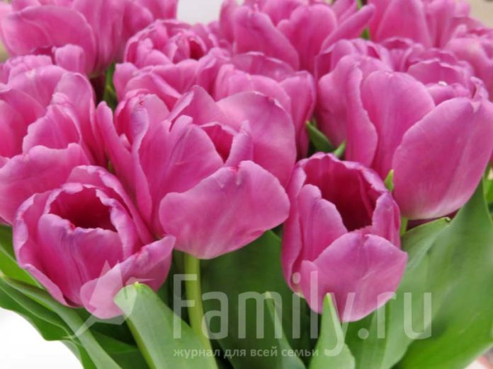 Розово-малиновые тюльпаны