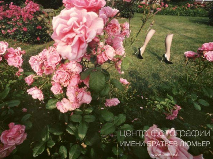 Розы Ги Бурдена