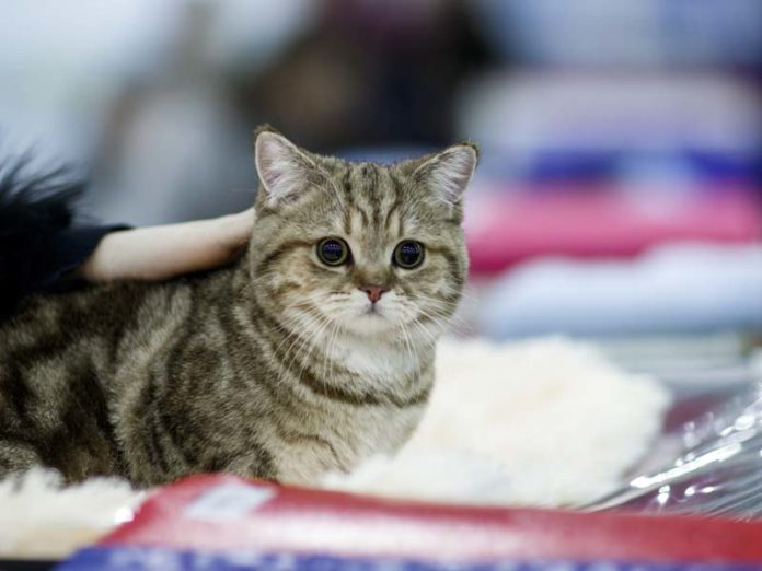 Симпатичный котик британец